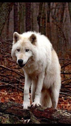 wolf 019
