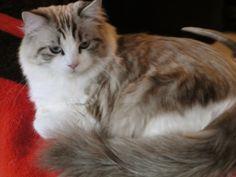 Ragdoll Cats And Kittens, Colorado, Colorado Ragdoll Cats - Click for More...
