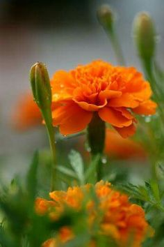 Beautiful orange carnations!