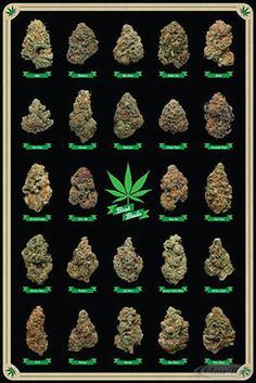 Cannabis Poster Best Buds Marijuana strains $5.50 & FREE Shipping https://www.facebook.com/Lifestyles420 . interesting infographic from #zipgrinders http://www.zipgrinders.com/?utm_source=pinterest&utm_medium=pin&utm_content=pin&utm_campaign=cannabis