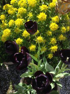 Sort tulipan og vårvortemelk (Euphorbia epithymoides) Min hage mai 2014/ijb