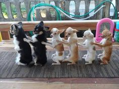 """""""follow the leader"""" #chihuahua style.  #puppied"""