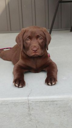 Mind Blowing Facts About Labrador Retrievers And Ideas. Amazing Facts About Labrador Retrievers And Ideas. Perro Labrador Chocolate, Brown Labrador, Chocolate Lab Puppies, Chocolate Labs, Cute Lab Puppies, Cute Dogs, Dogs And Puppies, Doggies, Yellow Lab Puppies
