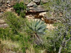 Encephalartos princeps habitat by MR Tropical Landscaping, Tropical Plants, Jungle Music, Flowering Succulents, Plant Sale, Palm Trees, Habitats, South Africa, Around The Worlds