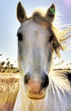 Wild white horse in the Camargue, south of France.