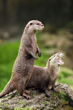 Otters alert us to problems in an ecosystem.