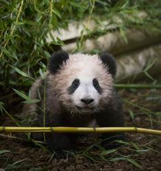 Première sortie en public de Yuan Meng, le bébé panda du ZooParc de Beauval