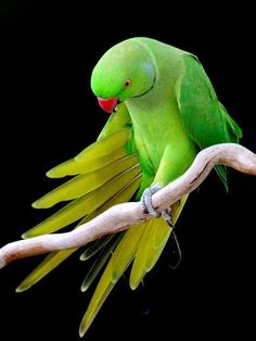 Indian Ring-neck Parrot
