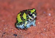 Native Australian Crucifix Toad or Holy Cross Frog (Notaden bennettii)