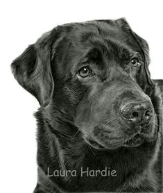Pencil drawing of a Black Labrador by Laura Hardie