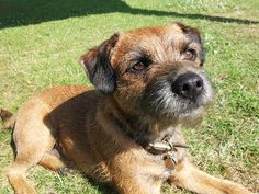 The Handsome Earl, the Border Terrier