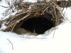 Some hibernating mammals include: bears, squirrels, groundhogs, raccoons, skunks, chipmunks, opossums, hamsters, badgers, lemurs and bats and recently humans in Western PA