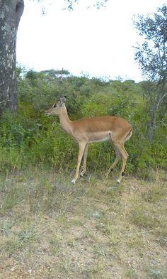 Impala/rooibok