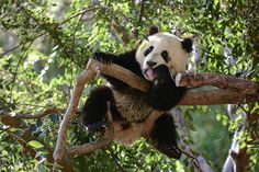 Xiao Liwu hanging out in his favorite tree