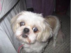 53 Best Shih Tzus Us Lost Dog Registry Images Baby Dogs Dog
