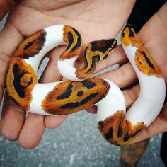 Pretty Snakes, Cool Snakes, Colorful Snakes, Beautiful Snakes, Beautiful Body, Pretty Animals, Cute Baby Animals, Animals Beautiful, Animals And Pets