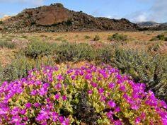Landscape with wild flowers (Drosanthemum hispidum), Namaqualand, South Africa photo