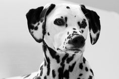 Lily, black and white Dalmatian