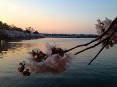 Cherry BlossomsDC89_MQ2013