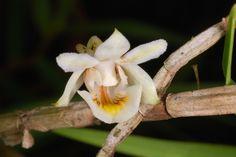 Dendrobium hosei
