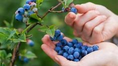 Blueberry Plant, Blueberry Picking, Strawberry Blueberry, Helado Natural, Fruit Trees For Sale, Growing Blueberries, Garden Club, Natural Treatments, Gardens