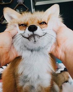 "everythingfox: "" ""Smile for the camera!!"" Juniper the Fox """