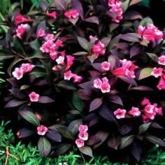 'Midnight wine' weigela. This would be a great addition to the two weigela's we arlready have.