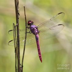 Dragonfly Wings | Wings Photograph by Carol Groenen - Pink Dragonfly With Sparkly Wings ...