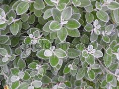"Foliage of Senecio Brachyglottis Greyi ""Sunshine"" stock image from Picturenation."
