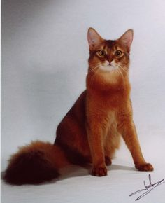 ruddy somali cat - Google Search