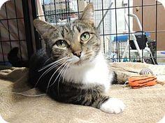 Sullivan, MO - Domestic Shorthair. Meet Summerlin, a cat for adoption. http://www.adoptapet.com/pet/16438971-sullivan-missouri-cat