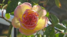 This rose is named Phyllis, I couldn't resist. (2013)