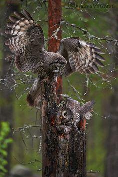 Great gray owls   by Andrea Marzorati