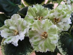 African Violet ` Le Ivetta ~ New Russian Variety | eBay Hybridized by: Elena Lebetskaya Large, double, white and green flowers with fringed edges of the petals. Variegated, green and white foliage.Standard