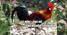 Gà rừng lông đỏ - Kinh nghiệm thuần hóa - GaChoiViet.Com
