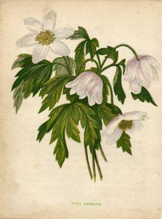 Antique print :Anemone nemorosa / Wood windflower / Anne Pratt flower 1855 nl.picclick.com