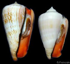 Conomurex luhuanus    Linnaeus, C., 1758 Strawberry/Blood-mouthed/Red-mouthed Conch Shell size 30 - 80 mm E Australia - Japan