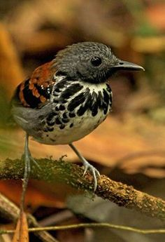 The Spotted Antbird is usually found following army ant swarms in the understory of dense humid forests from Nicaragua to Ecuador. Photo taken at Arenal National Park, Costa Rica. By Frank Thierfelder