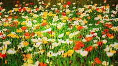 #popy #flower #flowers #ig_flowers #superb_flowers #FlowerStalking #wp_flower #floral_splash #igscflowers