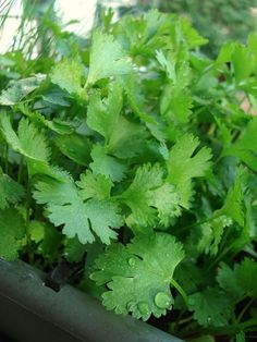 Cilantro (Chinese parsley) may resemble its namesake, but it's not the wall flower that parsley is in the garden.