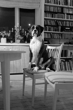 #Boxer is waiting for dinner