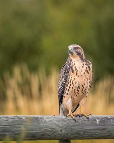Juvenile Swainsons Hawk by Chris Greenwood / 500px