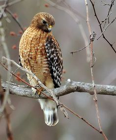 Red shouldered hawk. [TRK]