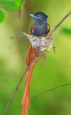 African Paradise Flycatcher common south of the Sahara desert
