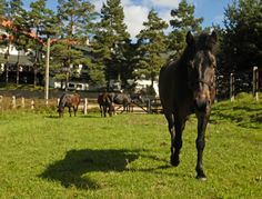 Odi - young Hucul horse in the Hotel & Resort SPA WARMIA PARK in Poland (Warmia and Masuria, Pluski near Olsztyn)