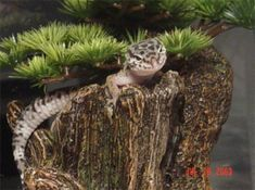 Native Habitat of the Leopard Gecko & Setting up a Natural Enclosure. Geckos do not live in sand. They live on rock. Use slate tiles, rocks, and gecko safe, live plants