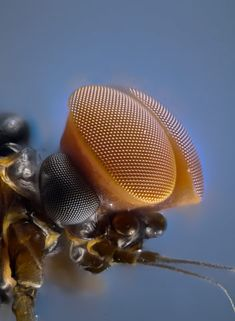 """Laurie Knight, Turbinate eyes of male mayfly"" - Animals Nikon Small World, Micro Photography, Levitation Photography, Exposure Photography, Water Photography, Abstract Photography, Animal Photography, Microscopic Photography, Cool Bugs"