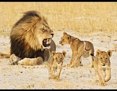 """A """"FATHER'S LOVE"""". Cecil and his cubs. Cecil the Lion was the KING and protector of his pride. Taken unjustly by the hand of a human. Why does a man feel so compelled to kill Earth's magnificent creatures and steal beauty from the rest of the world? To think of injuring and then stalking him for 40 hours... then leaving this King skinned and beheaded makes my heart hurt."""