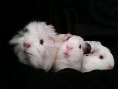 Guinea pigs friends