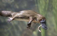 Platypus- one of the few venomous mammals; the male Platypus has a spur on the hindfoot, which delivers a poison capable of causing severe pain to humans. Reptiles, Mammals, Tasmania, Australia Occidental, Duck Billed Platypus, Baby Platypus, Animals And Pets, Cute Animals, Runway